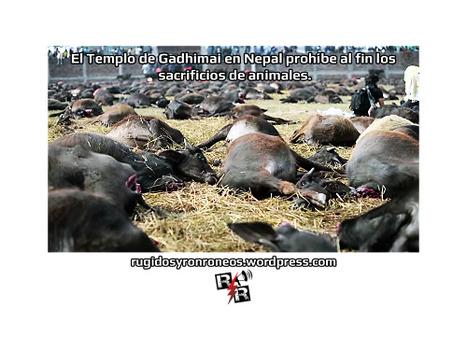 El Templo de Gadhimai en Nepal prohíbe al fin los sacrificios de animales. | Enriquecimiento ambiental en animales en cautividad y mascotas. | Scoop.it