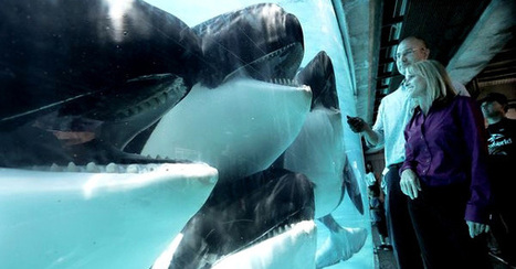 This is SeaWorld's worst nightmare -- Californians are saying enough to orca captivity | Animal Cruelty | Scoop.it