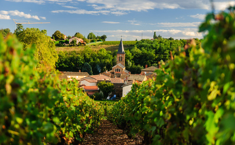 Learn About Gamay Red Wine, Often From Beaujolais, France | Beaujolais | Scoop.it