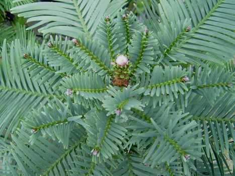 Wollemi Pine - Global Trees | Australian Plants on the Web | Scoop.it