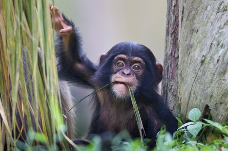 Our Taste for Cheap Palm Oil Is Killing Chimpanzees | IELTS, ESP and CALL | Scoop.it