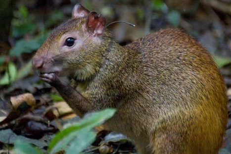 Scientists reintroduce agoutis in rainforest in city of 12 million | animals and prosocial capacities | Scoop.it