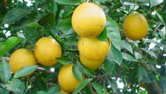 Citrus greening disease set for lengthy stay | Orchard Crops content from Western Farm Press | Citrus Science | Scoop.it