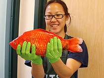 Giant goldfish invade Lake Tahoe | Farming, Forests, Water & Fishing (No Petroleum Added) | Scoop.it
