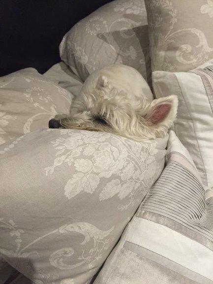 Tweet from @westiecarson | West Highland White Terrier | Scoop.it