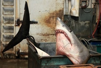 Record-Breaking Mako #Shark Tips Off Conservation Debate ~ Graphic photo of one...So Wrong! | Rescue our Ocean's & it's species from Man's Pollution! | Scoop.it