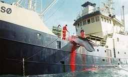 Why is Spar intent on boosting Norway's cruel and dying whaling industry? | Aquaculture Directory | Scoop.it