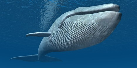 New Sensors Show How Whales Handle Big-Gulp Feeding | Oceans and Wildlife | Scoop.it