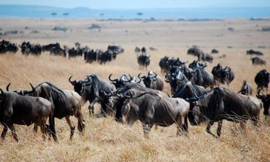 Wildlife numbers drop by 70% in Kenya's Mara region | Wildlife Trafficking: Who Does it? Allows it? | Scoop.it