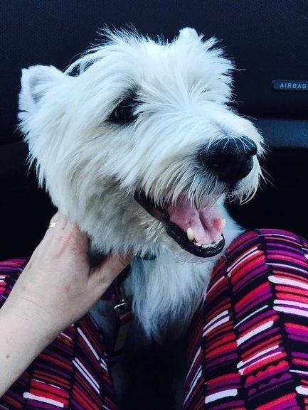 Tweet from @rorythewestie | West Highland White Terrier | Scoop.it