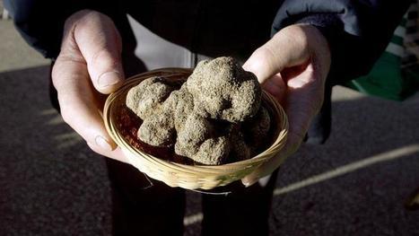 Les prix de la truffe explosent en France | Truffes L&Co | Scoop.it