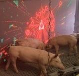 Drole et sérieux, le cochon joue avec la lumière !!! | Tourisme en Famille - Pistes à suivre | Scoop.it