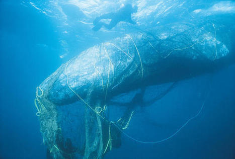 Whales, Sea Turtles, Seals: The Unintended Catch Of Abandoned Fishing Gear | IELTS, ESP, EAP and CALL | Scoop.it