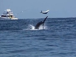 Fisherman catches rare footage of marlin attack | GrindTV.com | SUBDocument | Scoop.it