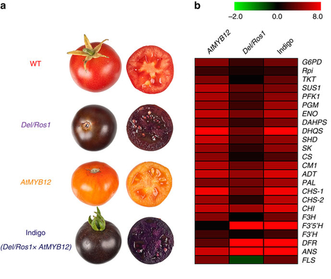 Nat Commun: Multi-level engineering facilitates the production of phenylpropanoid compounds in tomato : Nature Communications (2015) | Publications from The Sainsbury Laboratory | Scoop.it