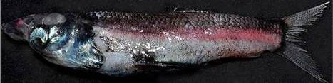 Biologists discover fish with a previously unknown type of eye | Amazing Science | Scoop.it