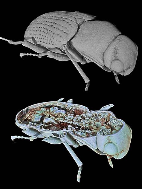 Un chercheur de l'Université de Grenade reçoit un prix pour un film qui illustre un voyage à l'intérieur d'un scarabée | EntomoNews | Scoop.it