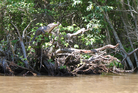 Study finds crocodile tree-climbing and -basking behavior | Sustain Our Earth | Scoop.it