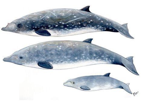 Zifio de Blainville- Blainville`s beaked whale - Asociación Tonina | Planeta Tierra | Scoop.it