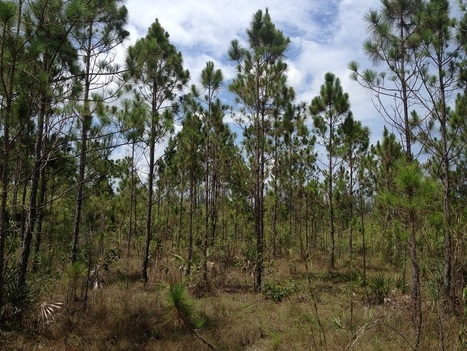 Endangered Florida Forest Will Be Destroyed To Make Room For Walmart And Chick-Fil-A | Upsetment | Scoop.it