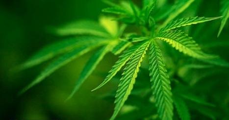 Schandalig! Zilveren Kruis gaat medicinale wiet niet meer vergoeden voor kanker- en MS-patiënten | Medicinale-cannabis | Scoop.it