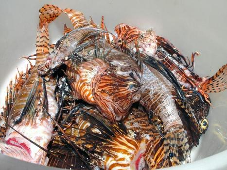 Twitter / DiveBVI: 10 fewer Lionfish in the #bvi ... | BVI Sailing | Scoop.it