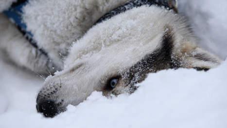 Enquête sur le massacre de huskys après les JO | Mais n'importe quoi ! | Scoop.it