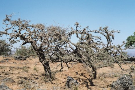 Frankincense production in dramatic decline | AP Human Geography Education | Scoop.it