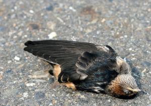 Malédiction touche la Tunisie : mortalité des milliers d'oiseaux dans des conditions mystérieuses !!!!! | Chronique d'un pays où il ne se passe rien... ou presque ! | Scoop.it