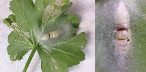 Cocoon of a Cabbage Looper Caterpillar | Science | Scoop.it