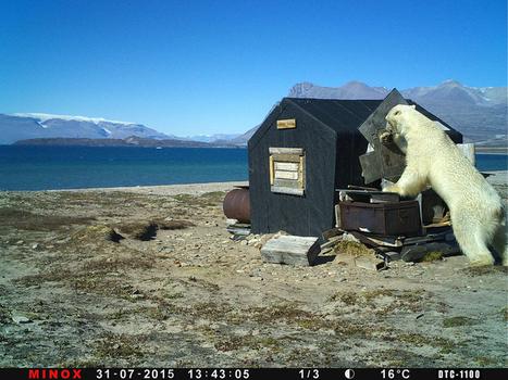 Lumigraph ABFångat på bild: Mr Polar Bear traschar en byggnad   Image   Scoop.it