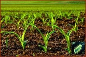 Et si une bactérie venait à remplacer avantageusement les engrais ? - Come4News   Projets et Contrats de Recherche - Résidus et Contaminants dans les aliments - Sécurité Alimentaire   Scoop.it