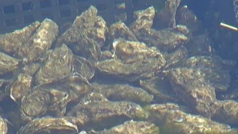 INSOLITE ! Perle dans l'assiette | Le Bassin d'Arcachon | Scoop.it