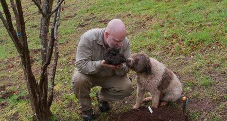 Une truffe géante d'1,5 kg sortie de terre | La truffe dans tous ses états | Scoop.it