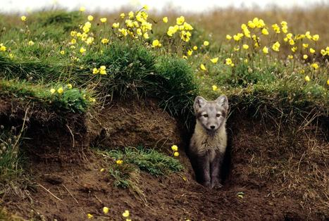 Arctic Foxes 'Grow' Their Own Gardens | Biodiversity protection | Scoop.it