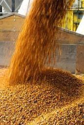 2013 corn crop adjusted down slightly, global p... | International Grain Commodity News | Scoop.it
