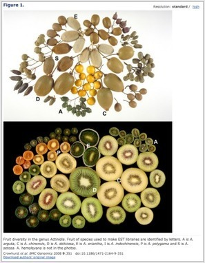 There's more to kiwi fruit diversity than you think | Agricultural Biodiversity | Scoop.it