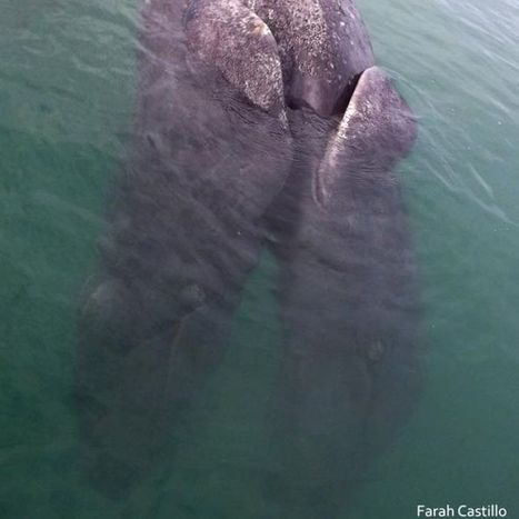 'Exceptionally rare' #conjoined #Whales found in #Mexico   Rescue our Ocean's & it's species from Man's Pollution!   Scoop.it