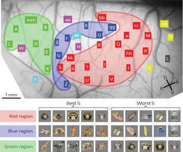 Mapping Objects in the Brain | Social Neuroscience Advances | Scoop.it