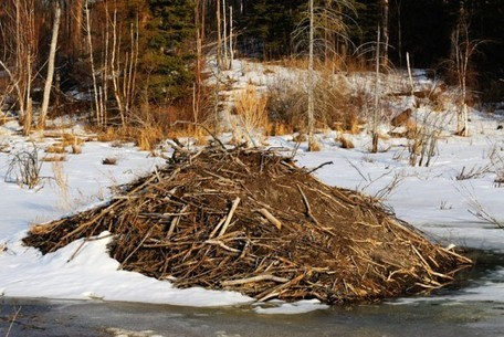 The Biomimicry Manual: How Do Beavers Create Business Opportunity? | Biomimicry | Scoop.it