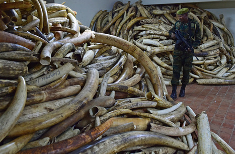 Africa Lost About 111,000 Elephants to Poaching in Last Decade@offshore stockbrokers | Investors Europe, Gibraltar | Scoop.it
