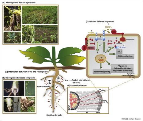 What lies beneath: belowground defense strategies in plants | Plant-Microbe | Scoop.it