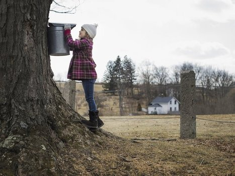 Maple Syrup Farmers Can Now Vacuum Sap Out of Trees | Erba Volant - Applied Plant Science | Scoop.it