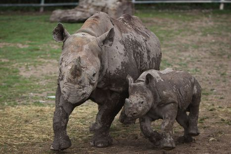 Rhino poachers on prowl at KENT wildlife parks | What's Happening to Africa's Rhino? | Scoop.it