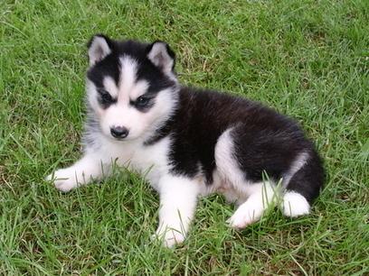 Pomsky Dog For Sale
