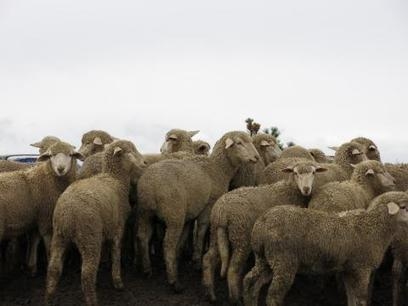 The Long, Slow Decline of the U.S. Sheep Industry - KVNF Public Radio | Animal Science | Scoop.it