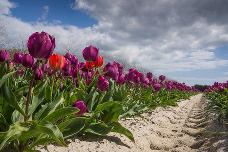 Bretagne - Finistère :  1 tulipe, 2 tulipes, 3 tulipes, 4.... (5 photos) | photo en Bretagne - Finistère | Scoop.it