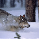 Wolves May Be Dropped from the Endangered Species List, and ... - Motherboard (blog) | Biodiversity protection | Scoop.it