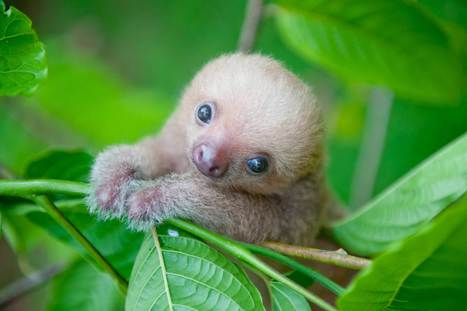 Cute Sloth Pictures: Adorable Photos of Sloths | Reader's Digest | ♨ Family & Food ♨ | Scoop.it