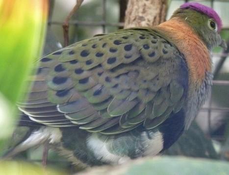 Photos d'oiseaux : Ptilope superbe - Ptilinope superbe - Ptilinopus superbus - Columba superba - Superb Fruit Dove | Fauna Free Pics - Public Domain - Photos gratuites d'animaux | Scoop.it